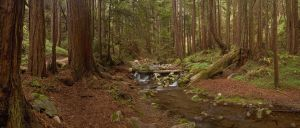 Limekiln Redwoods by CGPhotography