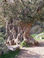 Very old olive tree by morgenland