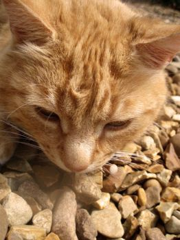 Ginger Cat by OurConspiracy-x