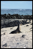 sea lion galapgos by melrose86