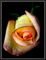 Roses are Yellow... by 1000--Words
