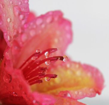 Rododendro 3 by TeddaT