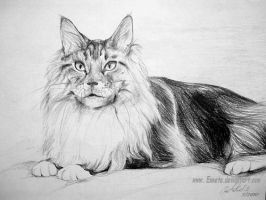 Maine Coon cat by Ennete