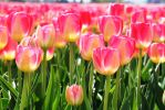 Skagit Valley Tulip Fest 9 by BRANCY