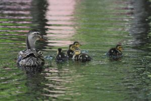 Family of Ducks by eillahwolf