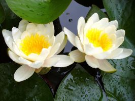 Water Lilies 5 by Vanshira
