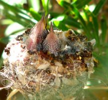 Hungry Baby Hummers by wonenownlee