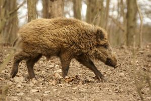 Wild boar by Goodka8