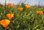 California Poppies by Doogle510