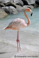 Aruba Flamingo by covertsniper83