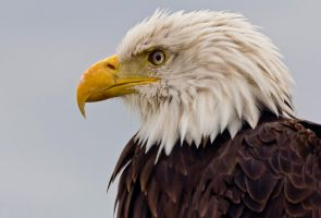 Haliaeetus leucocephalus - Bald eagle by Kriloner