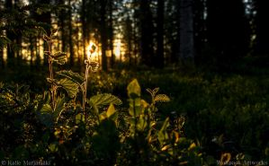 Lapland flower 1 by CQQP