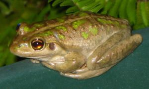 frog 01 - cropped by teletran