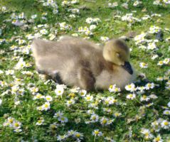 LIL' DUCKLING DREAMING by KARMACUSTOMZ