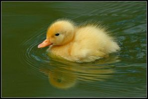 Fuzzy Duck by nitsch