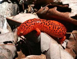 Red Salamander XT0004829 by Cristian-M
