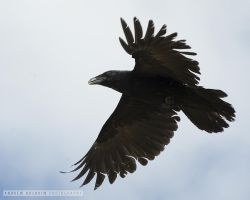 Tattered Raven by drewhoshkiw