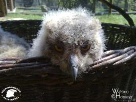 juvenile eagle owl by W0LLE