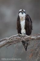 Female Osprey by FForns