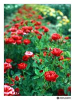 red roses by adypetrisor