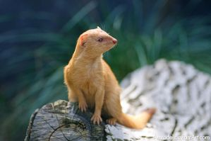 Slender Mongoose by amrodel