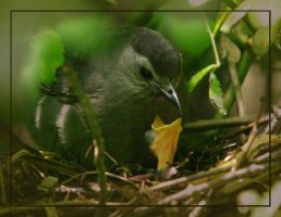 Grey Catbird and Baby by barcon53