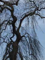 Drooping Tree by OperationDropkick
