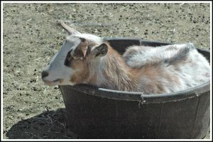 goat in a boat by Cmac13