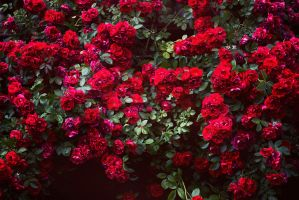 roses everywhere by urika66