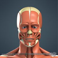 Muscular System 3D Model 04 by TheRealPlasticboy