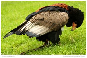 Bateleur Beauty by In-the-picture