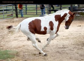 chestnut paint stallion 1 by venomxbaby
