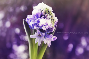 hyacinth... by freezinka