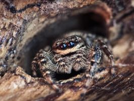 Jumping Spider by Pete1987
