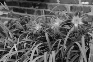 Day Lilies by Luthienmisery29