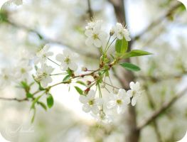 Flowers of a cherry... by TheRedGirl