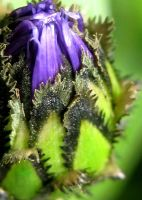 Cornflower Bud by iriscup