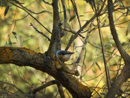 Eurasian Nuthatch - 1 by resh11ka