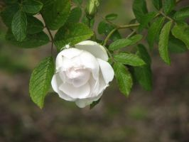 White Spider on White Rose by dsimple