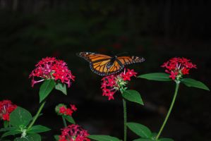Monarch Butterfly Stock 18 by chamberstock
