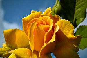 Yellow Rosy by Vespertine420