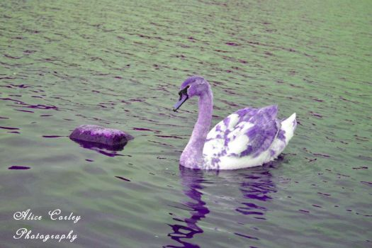 Swan by alicecorley