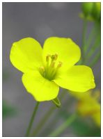 Yellow flower by nagham