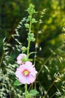 Pink hollyhock by Jorapache
