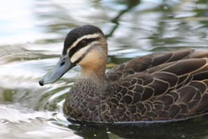 Duck - 1 by herekittykitty000