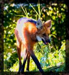 maned wolf by miezbiez