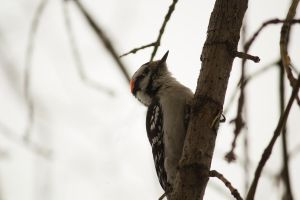Male Downy Woodpecker 2014 1 by toshema