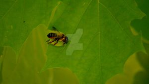 Leafcutter Bee by graphic-rusty