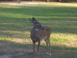 White-Tailed Deer 01 by Vesperity-Stock