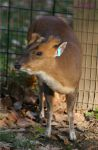 Muntjac Doe 2 by panda69680102